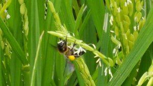 Mật ong rừng, Mật ong rừng U Minh,Oginbee