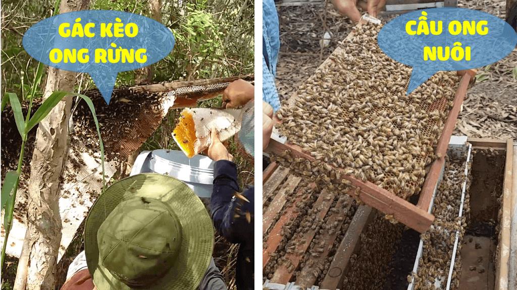 mật ong rừng U Minh nguyên chất khai thác bằng gác kèo ong